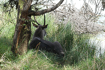 Momella Lake Waterbuck