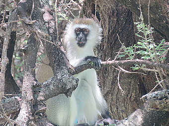 LakeManyara Monkey