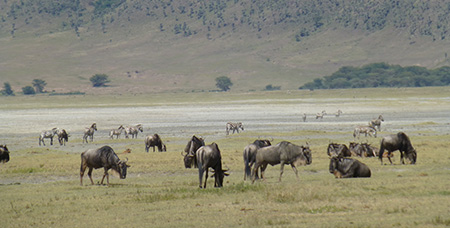 Gnus and zebras in the Ngorongoro Crater